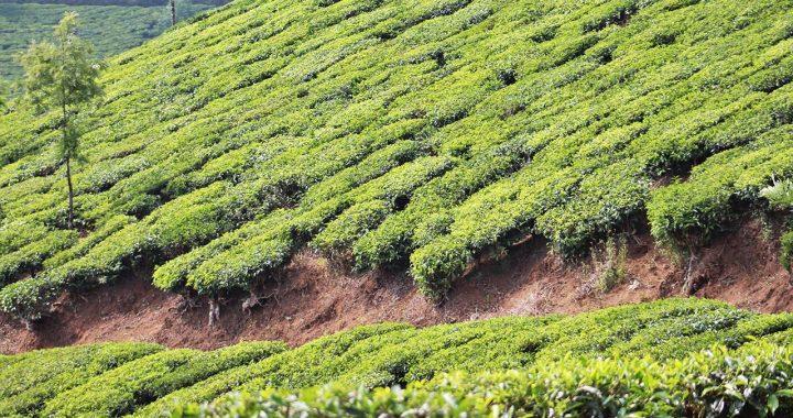 munnar a sea of tea (1)